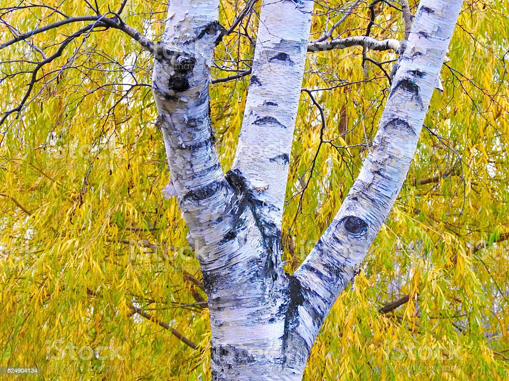 Autumn Birch stock photo