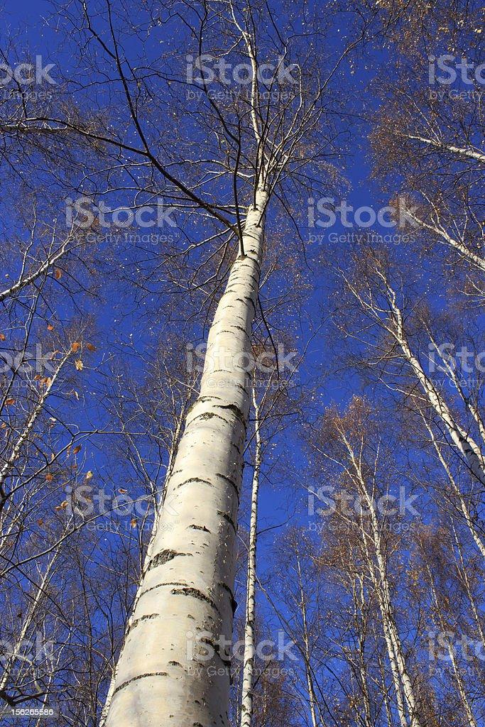 Autumn birches royalty-free stock photo