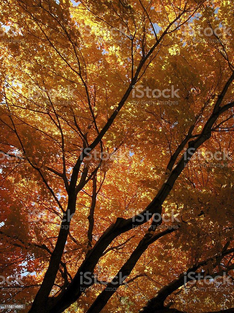Autumn Blaze Maple royalty-free stock photo
