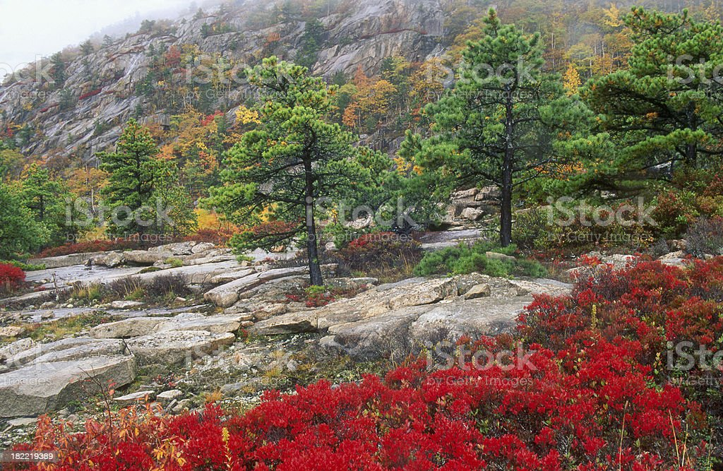 Autumn Blueberry and Pine Landscape royalty-free stock photo