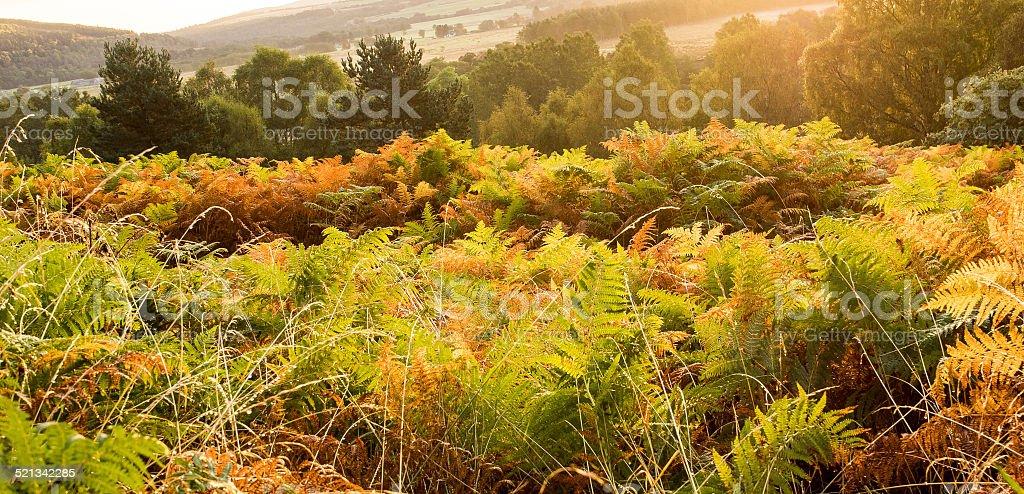 Autumn Bracken stock photo
