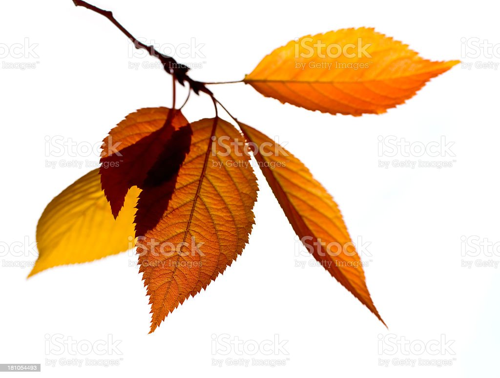 Autumn Branch and Leaves stock photo
