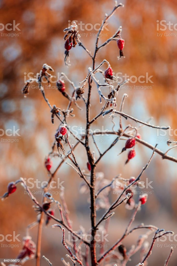 Autumn branch of wild rose with hoarfrost stock photo