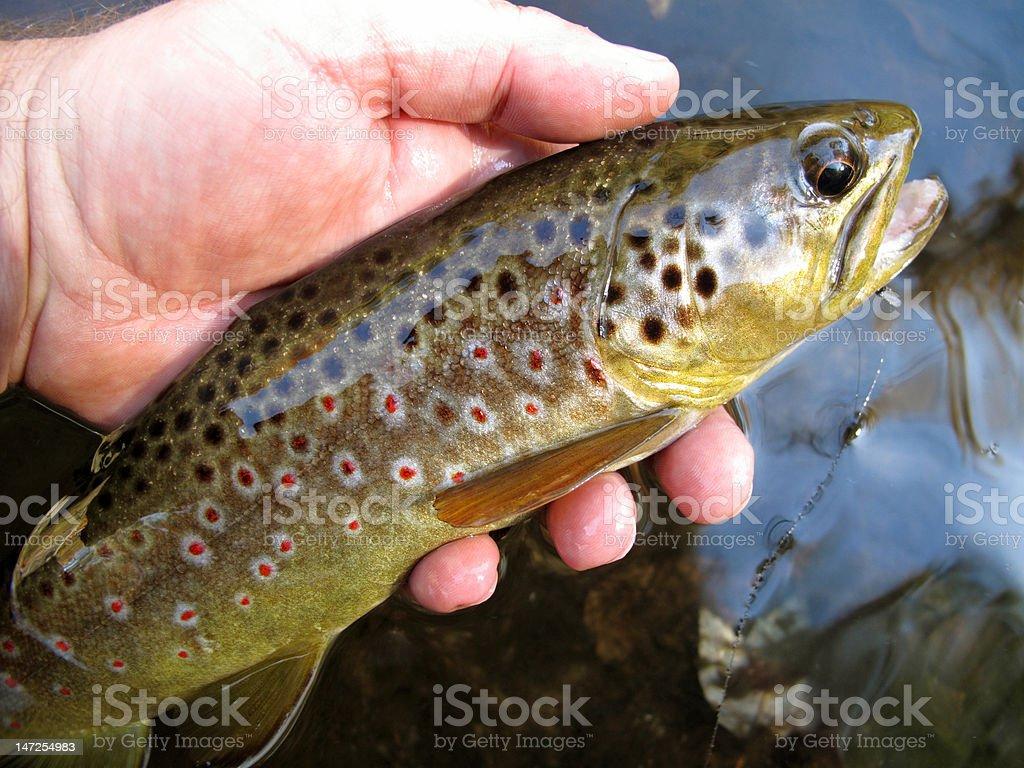 Autumn Brown Trout stock photo
