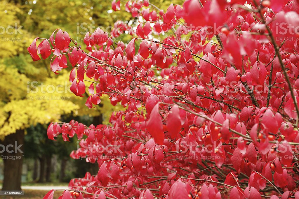 Autumn Burning Bush royalty-free stock photo