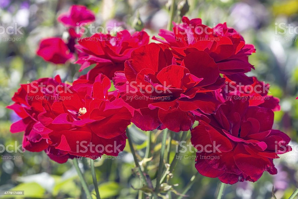 Autumn bush of red roses royalty-free stock photo