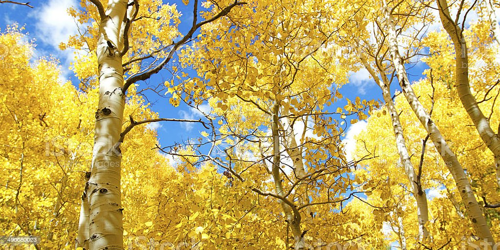 Autumn Canopy of Brilliant Yellow Aspen Tree Leafs stock photo