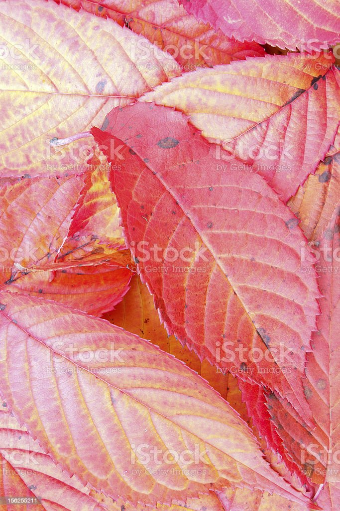 Autumn cherry tree leaves royalty-free stock photo