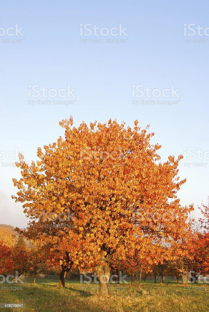 Autumn cherry trees royalty-free stock photo