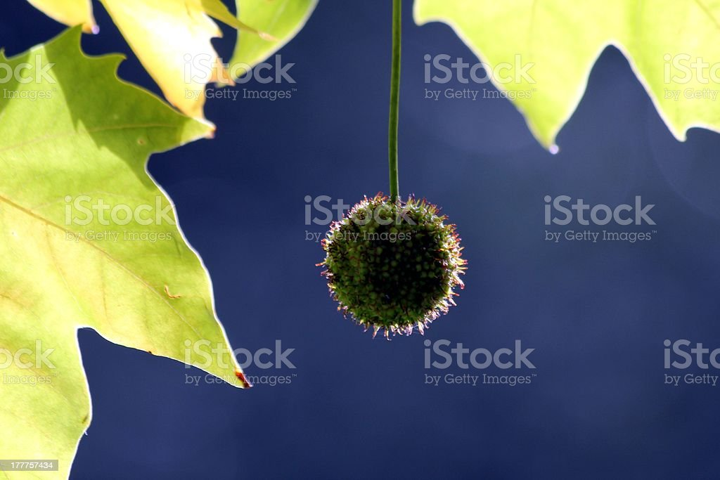 autumn chestnut royalty-free stock photo