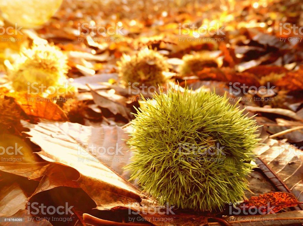 autumn chestnut stock photo