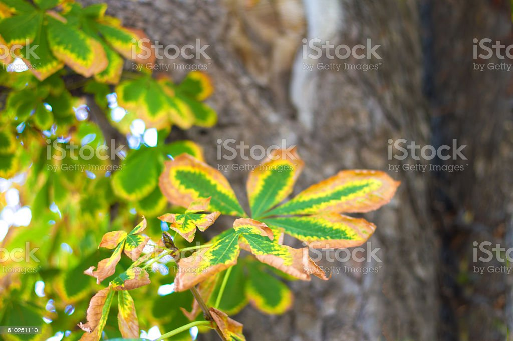 Autumn Chestnut Tree Close-Up with Colorful Changing Leaves stock photo