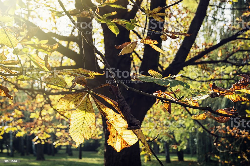 Autumn chestnut tree in sunlight stock photo