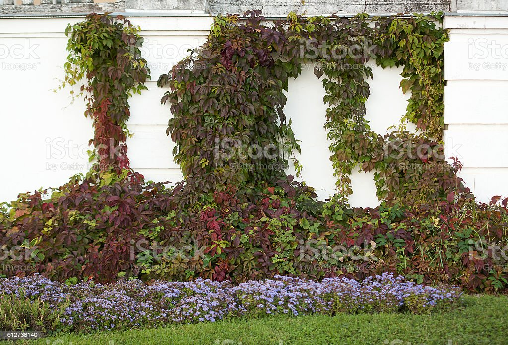 autumn climbing plant on the balustrade stock photo
