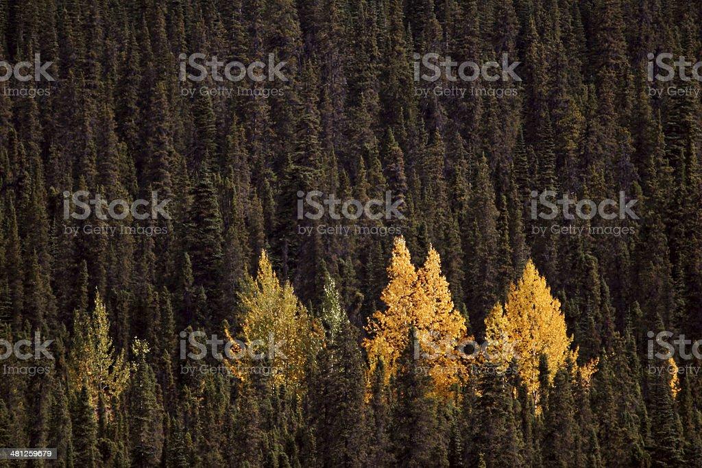 Autumn colored Aspens amongst Lodgepole Pines stock photo
