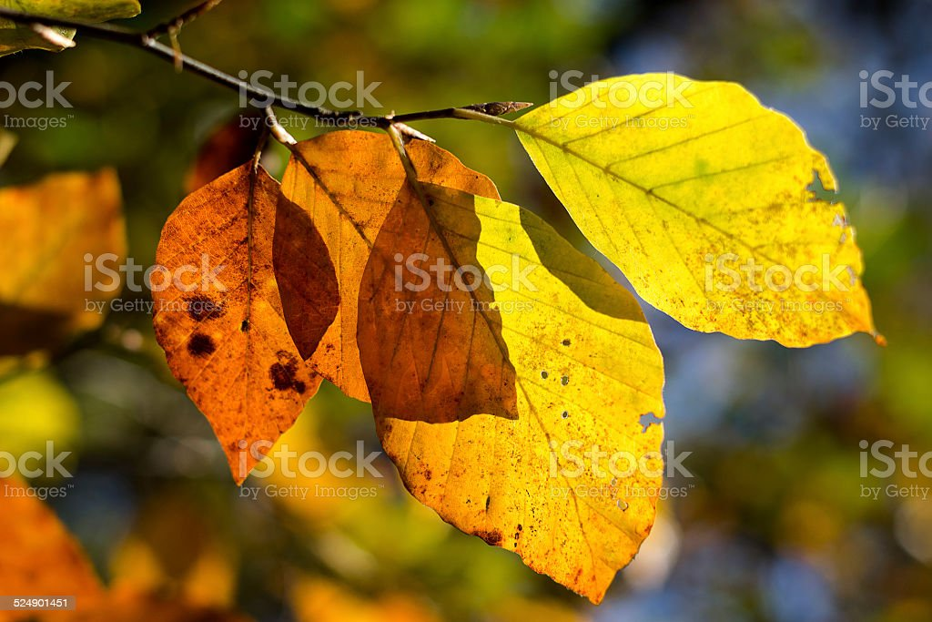 autumn colored beech leaves in the sunlight stock photo