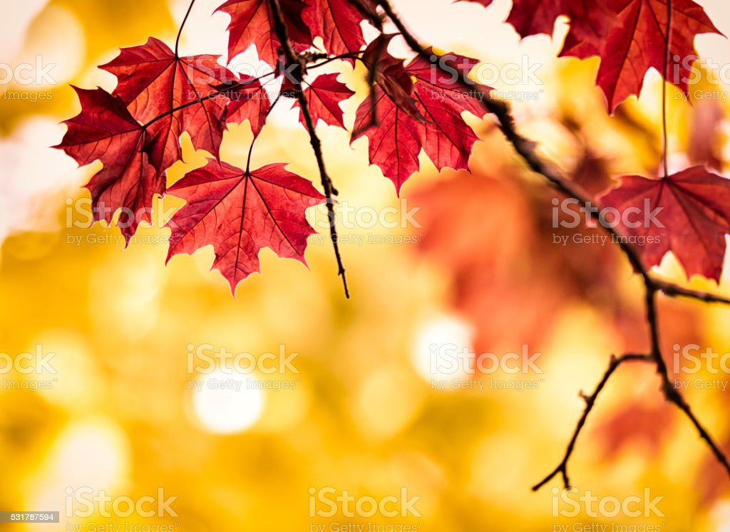 Autumn colored maple leaf stock photo