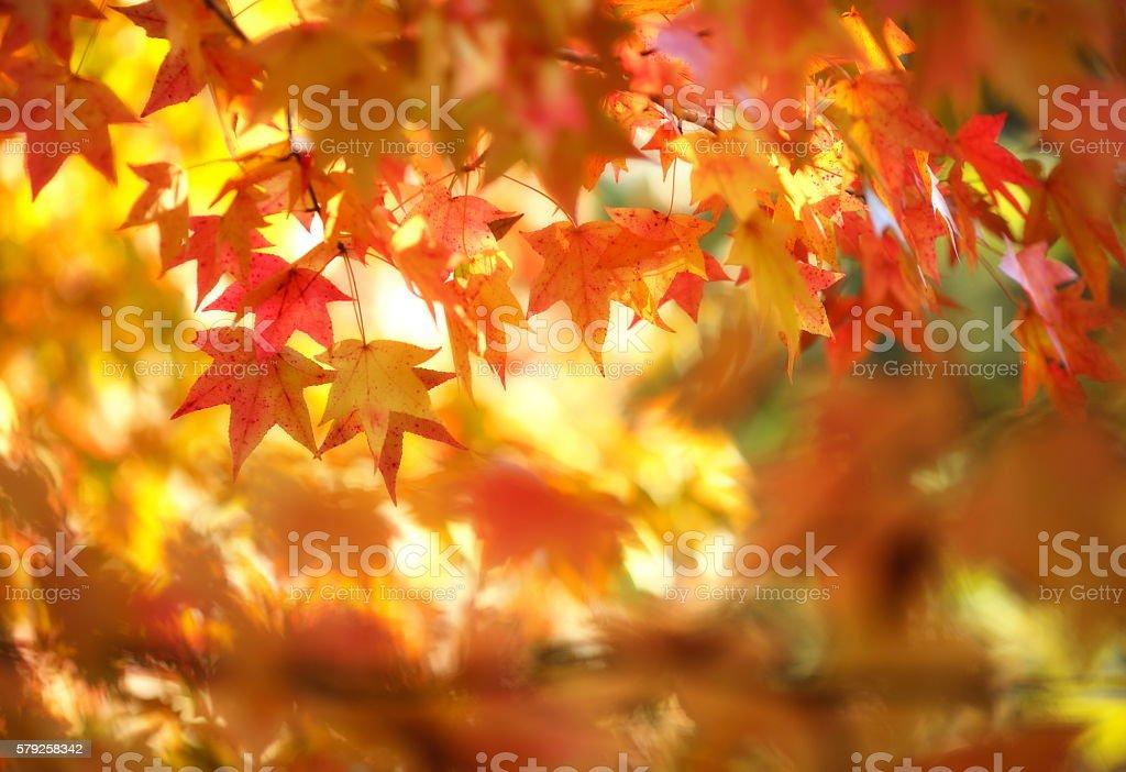 Autumn colored maple leaf stock photo