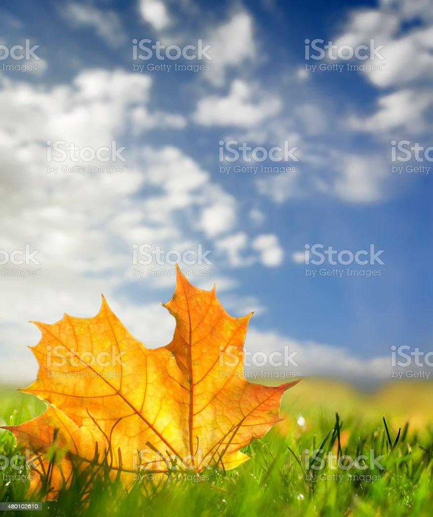 autumn colorful leaf on a green lawn, natural background stock photo