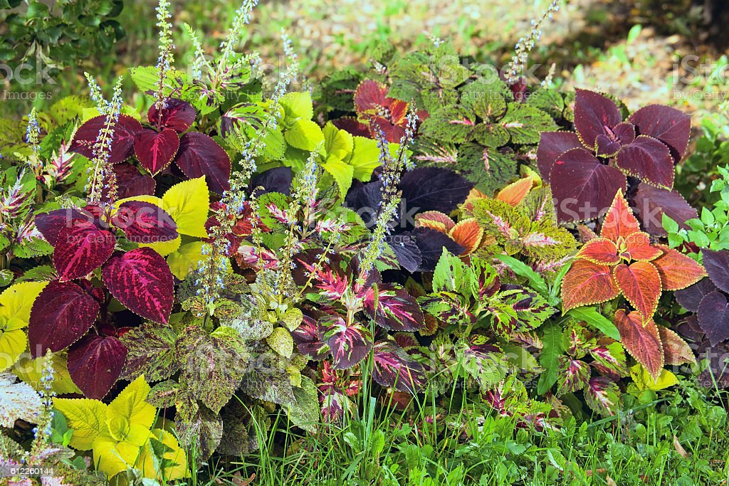 Autumn colorful leaves - Coleus and Hypoestes. stock photo