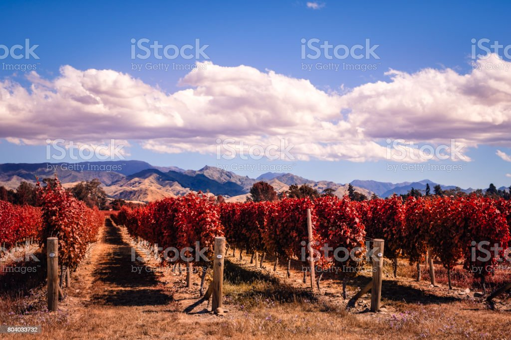 Autumn colorful vineyards in Marlborough wine country, NZ stock photo