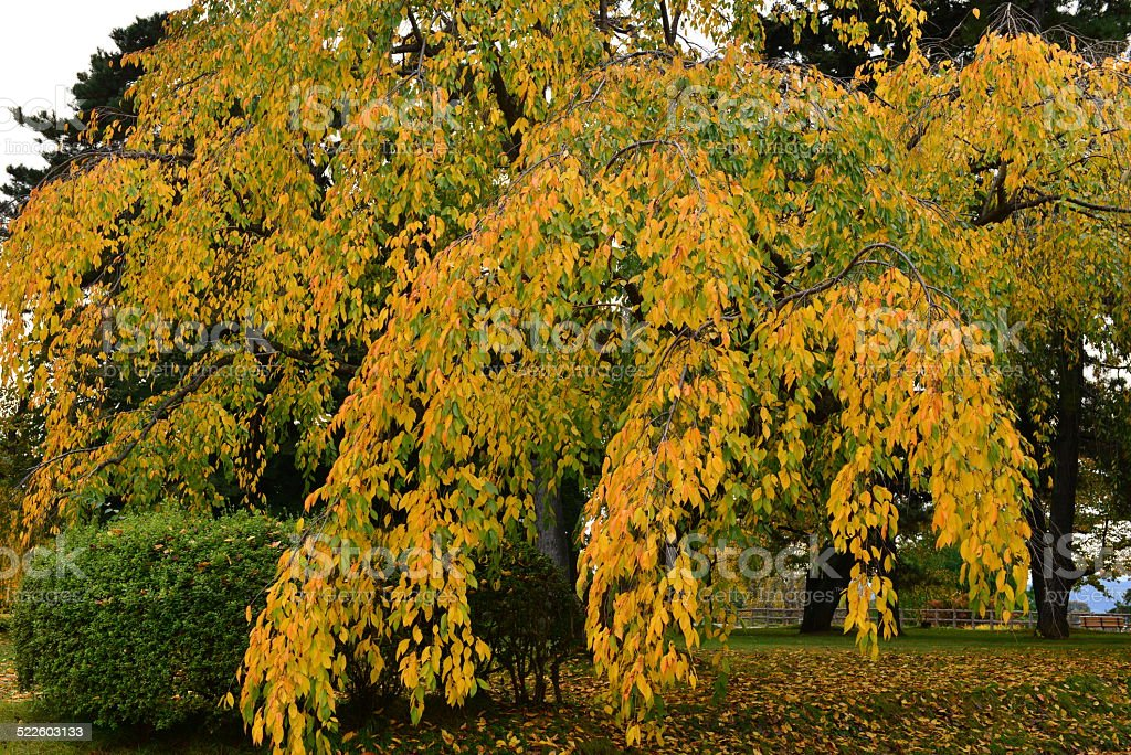Autumn Colors of Cherry Tree at Hirosaki Castle stock photo