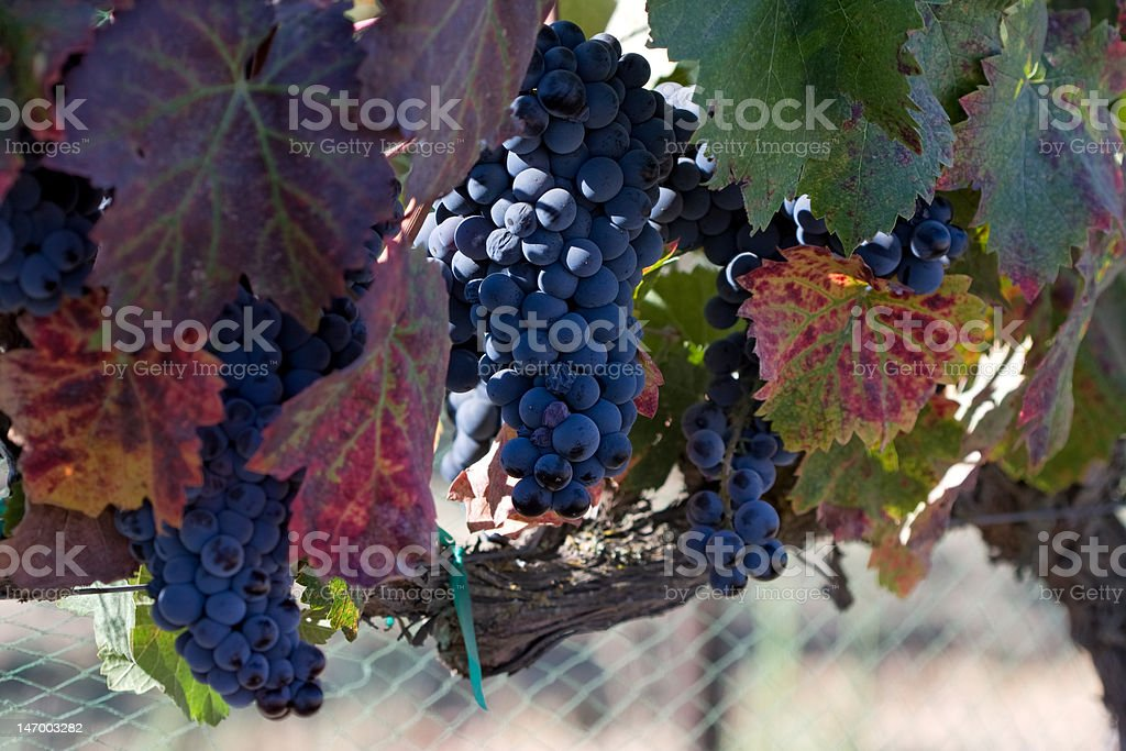 Autumn colors on the grape vine royalty-free stock photo
