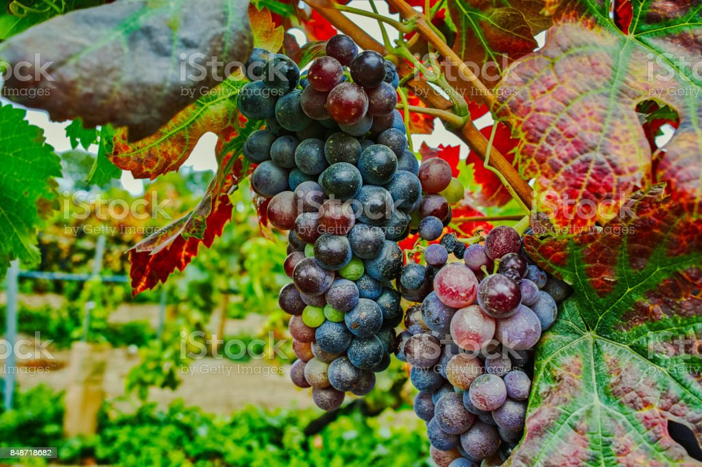 Autumn colors - red wine grapes on sandy vineyards, Camargue, Provence stock photo