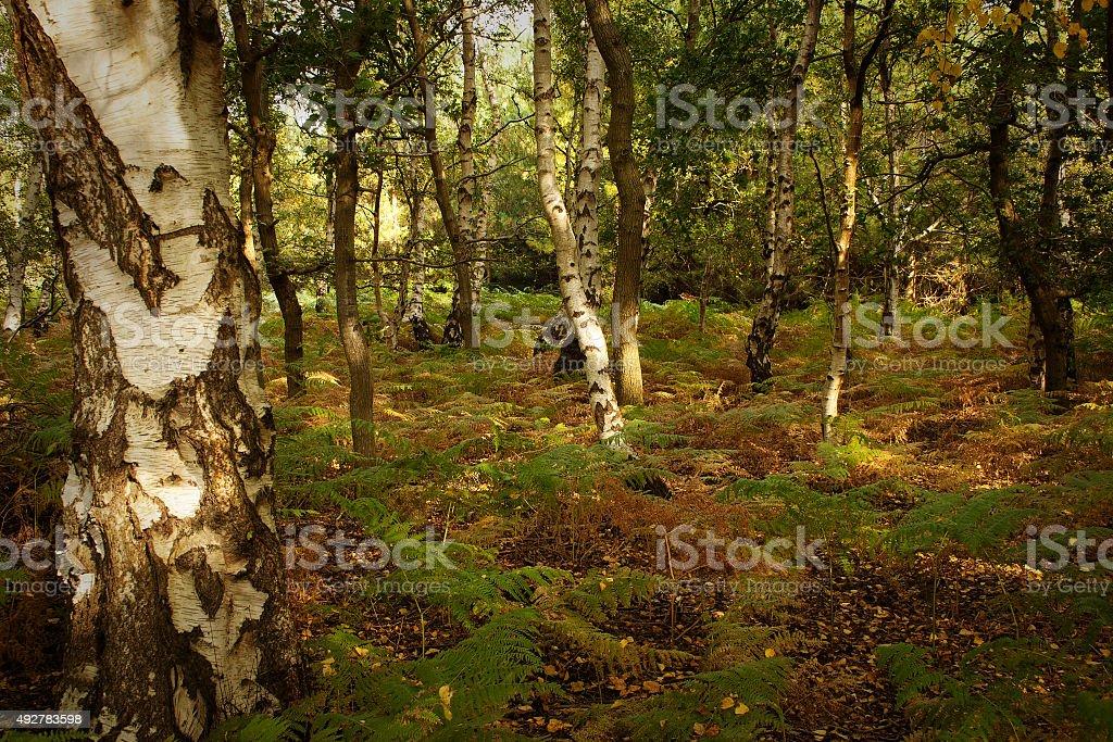 Autumn colour in Suffolk, Sandlings Walk through Tunstall Forest stock photo