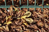 Urban railings with scattering of fallen horse chestnut leaves
