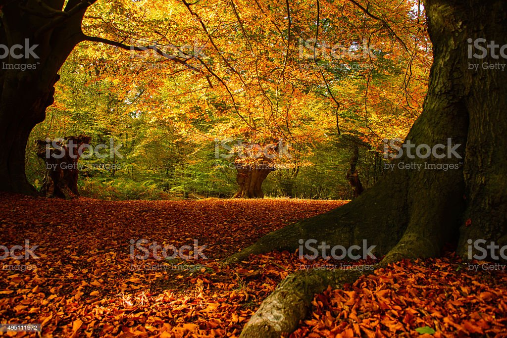 Autumn colours of Epping Forest, UK stock photo