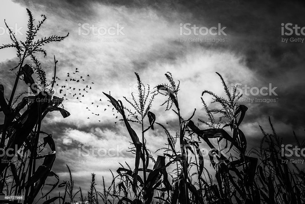 Autumn Cornfields stock photo