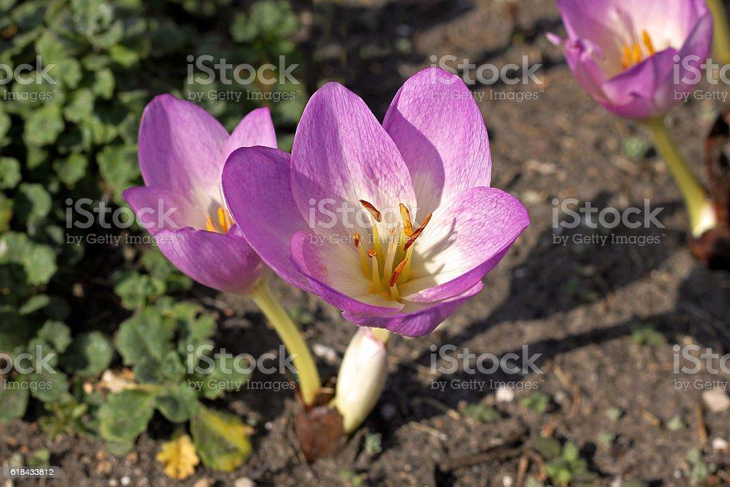 Autumn Crocus (Colchicum autumnale) flowers stock photo