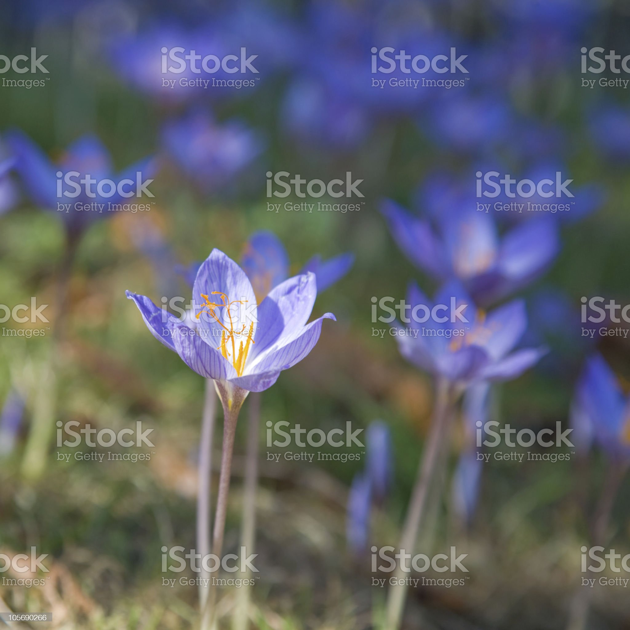 autumn crocus royalty-free stock photo