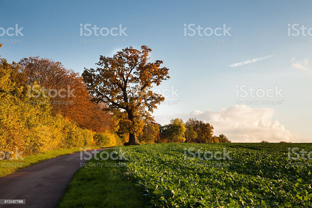 autumn crop fields lane and trees in Essex England stock photo