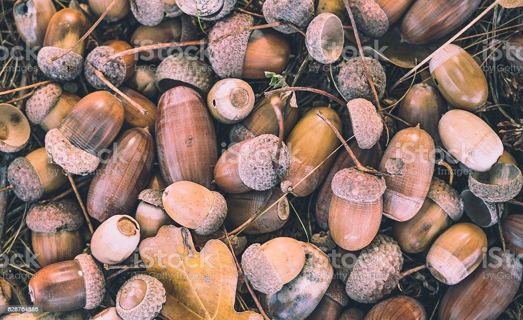Autumn day. Fallen autumn acorns stock photo