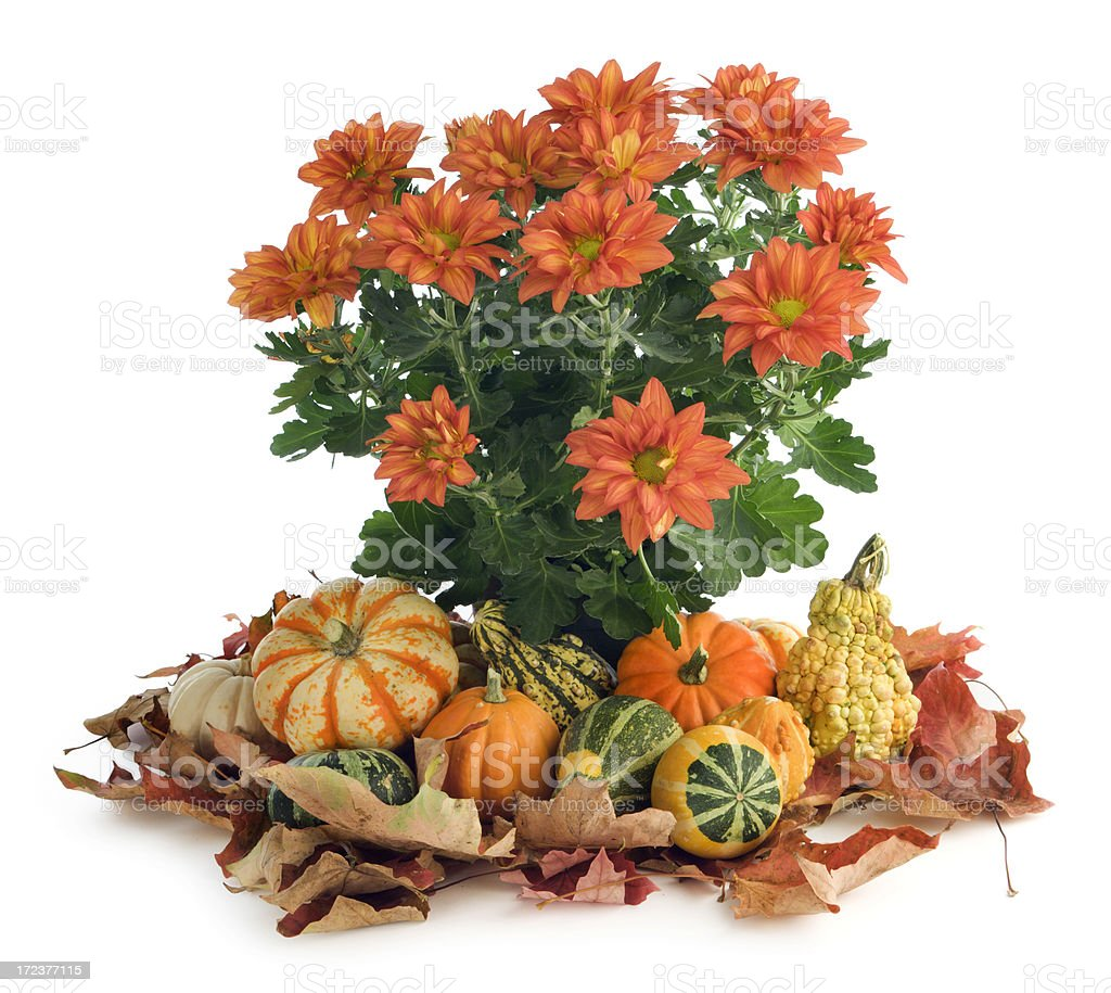 Autumn Decorative Arrangement of Chrysanthamums, Pumpkins, Gourds, Leaves on White royalty-free stock photo