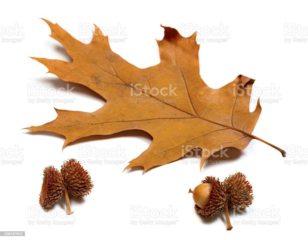 Autumn dried leaf of oak and acorns stock photo