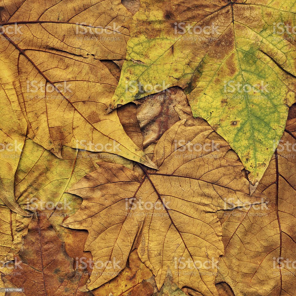 Autumn Dry Fallen Maple Leaves royalty-free stock photo