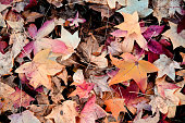 autumn dry  leaves - background