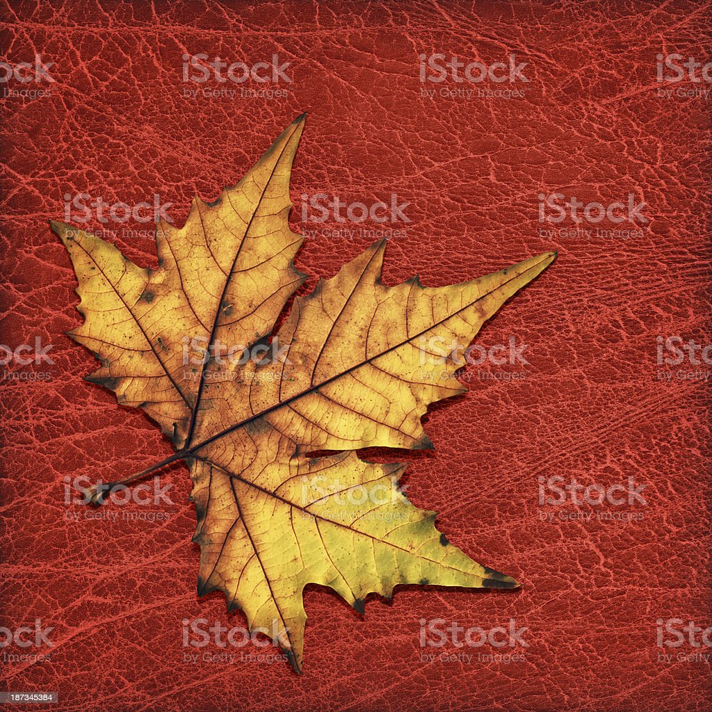 Autumn Dry Maple Leaf Isolated on Old Red Wizened Leather royalty-free stock photo