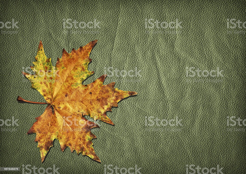 Autumn Dry Maple Leaf Isolated on Olive Green Wizened Leather royalty-free stock photo