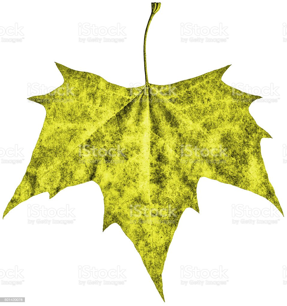 Autumn Dry Maple Leaf Isolated on White Background stock photo