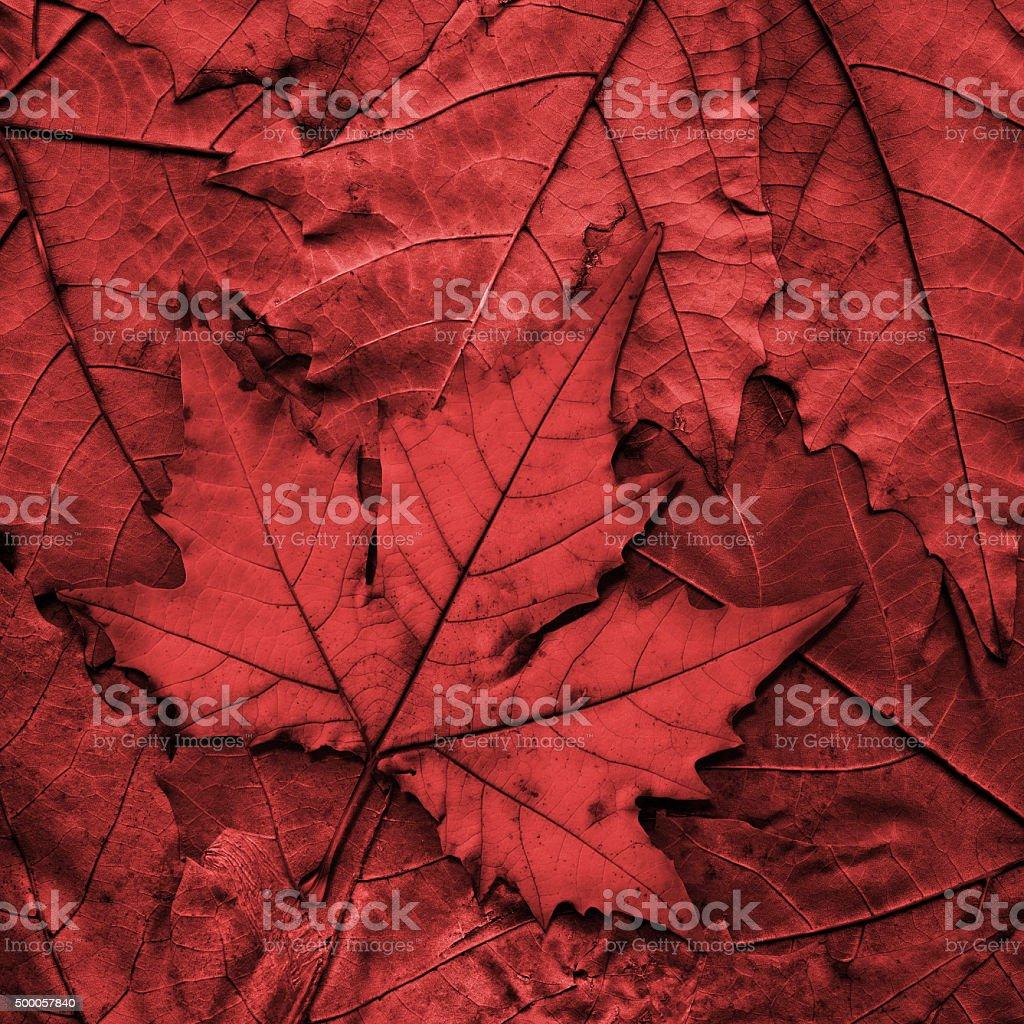 Autumn Dry Red Maple Leaf Isolated on Autumn Foliage Background stock photo