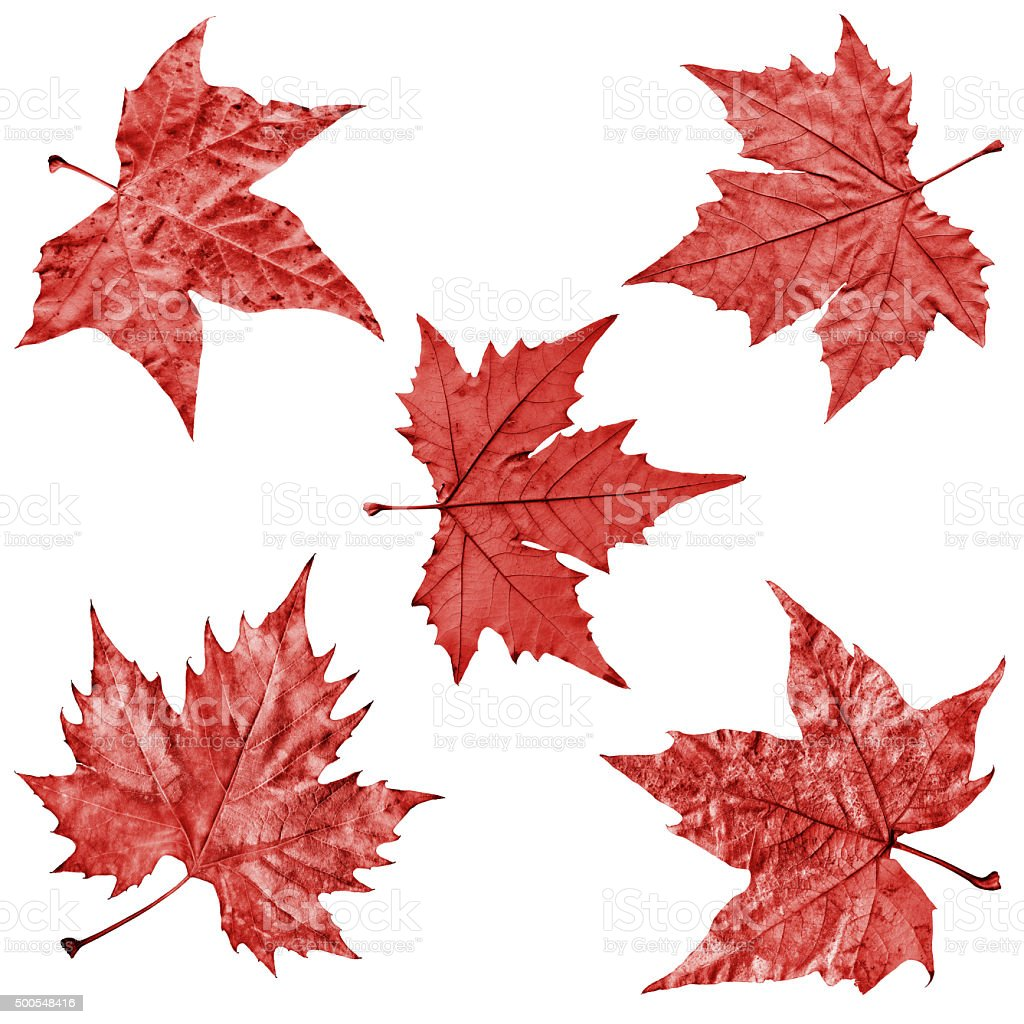 Autumn Dry Red Maple Leaves Isolated on White Background stock photo