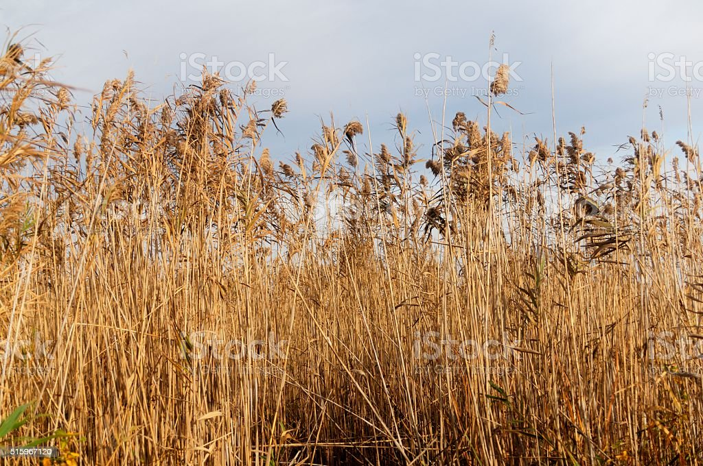 Autumn Dry Reed Landscape stock photo