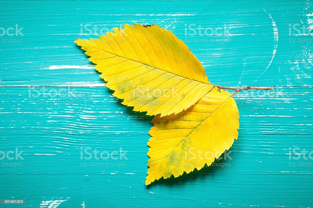 Autumn elm leafs stock photo