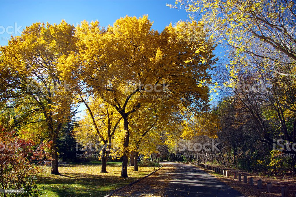 Autumn Elms royalty-free stock photo