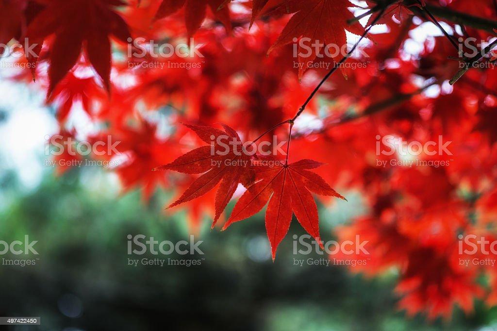 Autumn fall maple foliage stock photo
