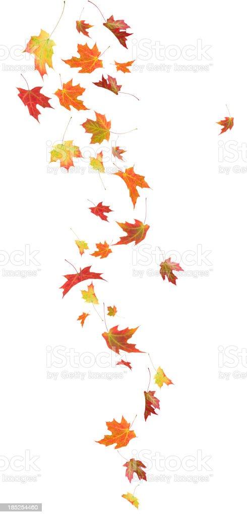 Autumn Falling Maple Leaves stock photo
